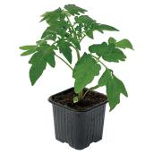Assorted Vegetable Plants - 3.5-in Pot