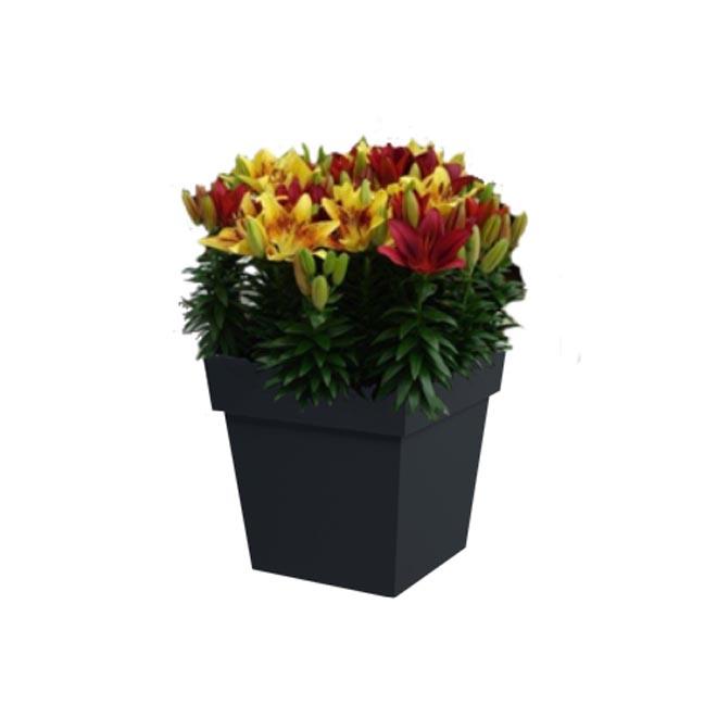 Lys asiatique, pot carré de 10'', bicolore