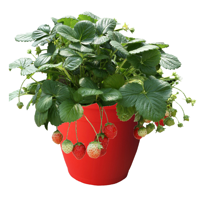 Strawberry Plants - 7-in Pot