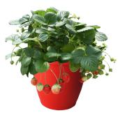 Strawberry Plants - 7-in Pot