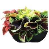 Coleus - Black Vintage Bowl - 12-in
