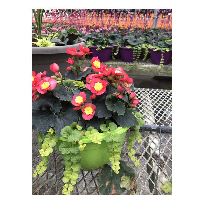 Assorted Begonia Reiger - 10-in