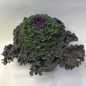 Choux décoratif, pot de 8 po