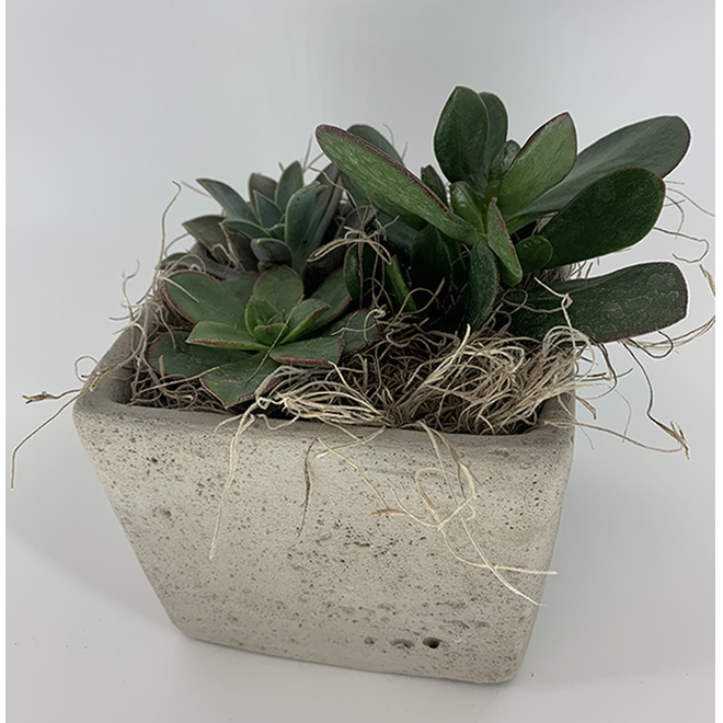 Arrangement de succulentes, pot de 6 po