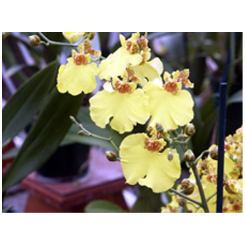 Orchidée oncidium, pot de 5 po, jaune