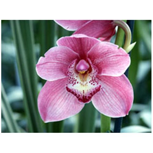 Orchidée cymbidium, pot de 6 po, couleurs assorties