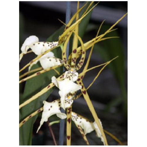 Orchidée brassia lanceana verrucosa, pot de 6 po, 1 tige, blanc tacheté