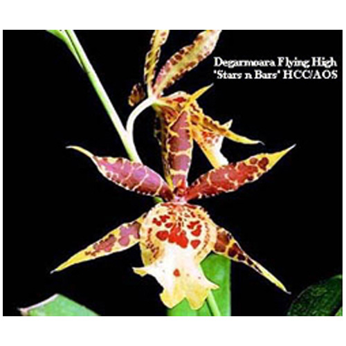 Brassia Beallara Marfitch Orchid - 5 in. Pot - 2 Stems - Yellow Mottled Red