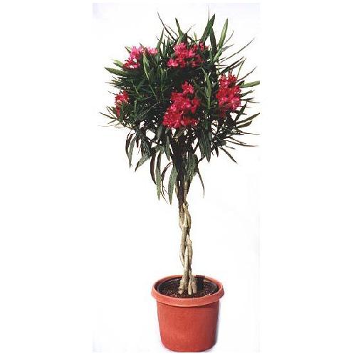 Braided Oleander