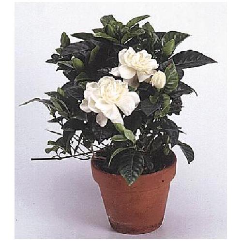 Pepiniere Richelieu Gardenia buisson, pot de 6'' en terre cuite 6GARBU