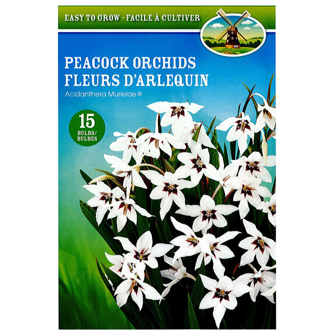 Peacock orchids