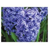 Bulbes à jacinthe TotalGreen Holland(MD), bleu