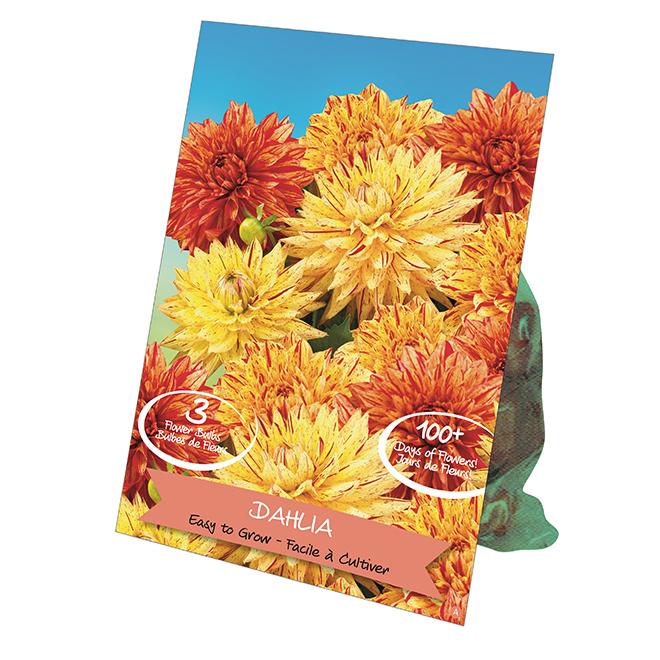 Dahlia Bulbs - Various Colours - 3/Pack