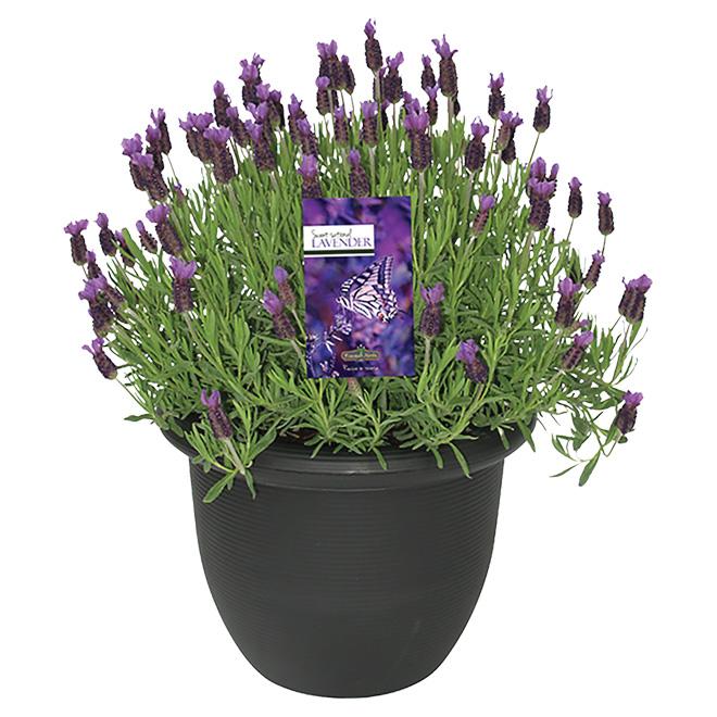Anouk Lavender Shrub