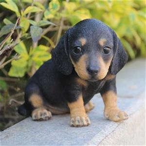 Hi-Line Gift Dachshund Puppy Statue,87771-11