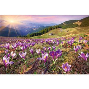 Dimex Crocuses at Spring Wall Mural - 12-ft 3-in x 8-ft 2-in